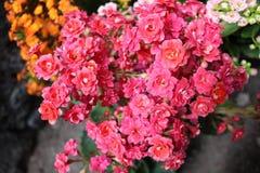 Ramo de flores minúsculas de la planta del kalanchoe imagen de archivo libre de regalías