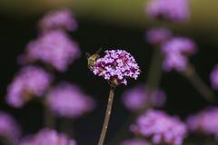 Ramo de flores púrpuras de la verbena Imagenes de archivo