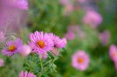 Ramo de flores rosadas del jardín Fotografía de archivo libre de regalías
