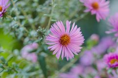 Ramo de flores rosadas del jardín Imagen de archivo