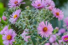 Ramo de flores rosadas del jardín Fotografía de archivo