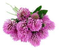 Ramo de flores rosadas del trébol Foto de archivo