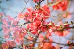 Ramo de florescência - árvore de florescência Fotografia de Stock Royalty Free