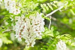 Ramo de florescência abundante da acácia do pseudoacacia do Robinia fotografia de stock royalty free