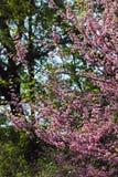 Ramo de florescência com as flores na mola fotografia de stock royalty free