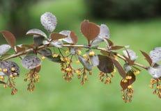Ramo de florescência com flores Imagem de Stock Royalty Free