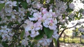 Ramo de florescência da árvore Fotografia de Stock Royalty Free