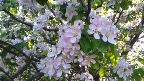 Ramo de florescência da árvore Fotos de Stock Royalty Free