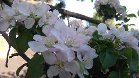 Ramo de florescência da árvore imagens de stock