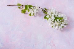 Ramo de florescência da árvore de Apple na parte superior do fundo na moda do cor-de-rosa-lilás com espaço da cópia Imagem de Stock
