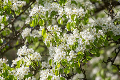 Ramo de florescência da árvore de pera na mola no close up da luz solar fotografia de stock