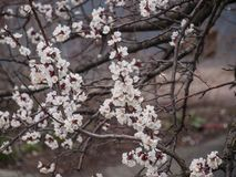 Ramo de florescência da árvore em abril Fotos de Stock Royalty Free