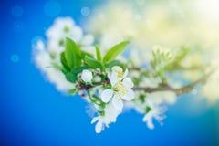 Ramo de florescência da ameixa Imagens de Stock