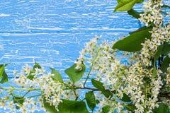Ramo de florescência da cereja de pássaro em um fundo de madeira azul Imagem de Stock Royalty Free
