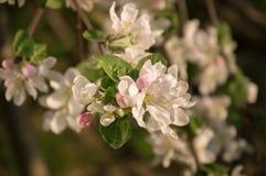 Ramo de florescência da maçã Imagens de Stock Royalty Free