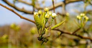 Ramo de florescência da pera com as flores em botão de florescência bonitas e as folhas verdes novas contra o céu azul na fotogra fotos de stock royalty free