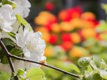 Ramo de florescência de Apple em um fundo de tulipas amarelas e vermelhas Foco no primeiro plano, fundo borrado Fotografia de Stock Royalty Free