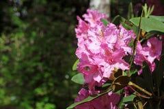 Ramo de florescência do jardim do rododendro na primavera Flor cor-de-rosa da azálea Imagens de Stock