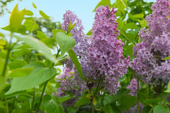 Ramo de florescência do lilás Imagens de Stock