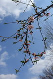 Ramo de florescência do pêssego contra céus azuis imagens de stock royalty free