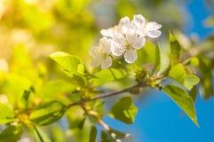 Ramo de florescência de uma árvore de cereja contra um céu azul Fundo da mola Foco seletivo Imagem de Stock Royalty Free