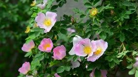 Ramo de florescer quadris cor-de-rosa e uma abelha vídeos de arquivo