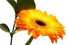 Ramo de gerbera anaranjado y de rama verde. fotografía de archivo