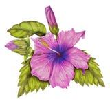 Ramo de hibisco Imagen de archivo libre de regalías