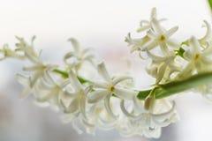 A; ramo de; Hyacinth Flower contra branco azul o backgro borrado imagem de stock