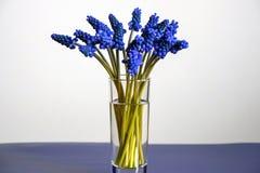 Ramo de jacintos de uva azules de las flores de la primavera fotografía de archivo