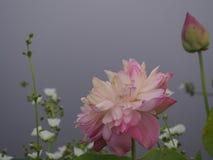 Ramo de la flor de Lotus de insectos Foto de archivo