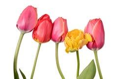 Ramo de la flor del jardín Tulipanes aislados en un fondo blanco imagen de archivo
