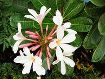 Ramo de la flor del Plumeria fotos de archivo libres de regalías