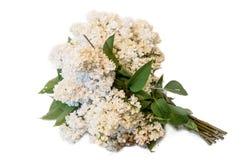 Ramo de la lila común del blanco (syringa) aislado en el backgroun blanco Fotos de archivo libres de regalías