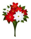 Ramo de la Navidad de poinsettias rojos y blancos. ilustración del vector