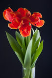 Ramo de la primavera de tulipanes rojos en florero en fondo negro Foto de archivo