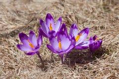 Ramo de las azafranes de la primavera Imágenes de archivo libres de regalías