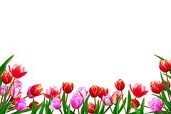 Ramo de las flores frescas de la primavera, tulipanes con el pétalo multicolor Imagen de archivo