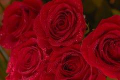 Ramo de las rosas rojas, primer, imagen macra abstraiga el fondo Fotos de archivo libres de regalías
