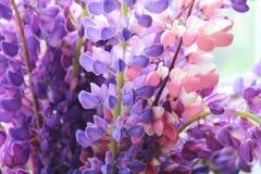 Ramo de lila y de primer rosado de los altramuces imágenes de archivo libres de regalías
