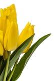 Ramo de los tulipanes amarillos, aislados en el fondo blanco Imágenes de archivo libres de regalías