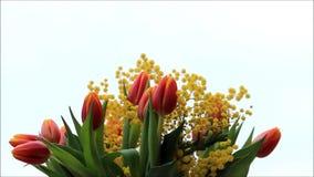 Ramo de los tulipanes con la mimosa amarilla almacen de video