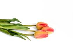 Ramo de los tulipanes de la flor de la primavera aislado el 17 de abril de 2015 Foto de archivo libre de regalías