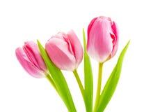 Ramo de los tulipanes del rosa de la flor de la primavera Fotografía de archivo libre de regalías