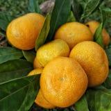 Ramo de mandarines fotografía de archivo