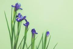 Ramo de narcisos azules en espacio verde claro de la copia de la opinión superior del fondo Foto de archivo libre de regalías