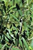 Ramo de Olive Tree, europaea do olea, azeitona europeia situada na angra da rainha, o Arizona, Estados Unidos Imagens de Stock Royalty Free