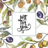Ramo de oliveira com fruto preto e verde Grupo da ilustra??o do fundo da aquarela Quadrado do ornamento da beira do quadro fotografia de stock royalty free