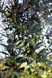 Ramo de oliveira com frutos verdes fotografia de stock royalty free