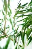 Ramo de oliveira fresco com folhas imagem de stock royalty free